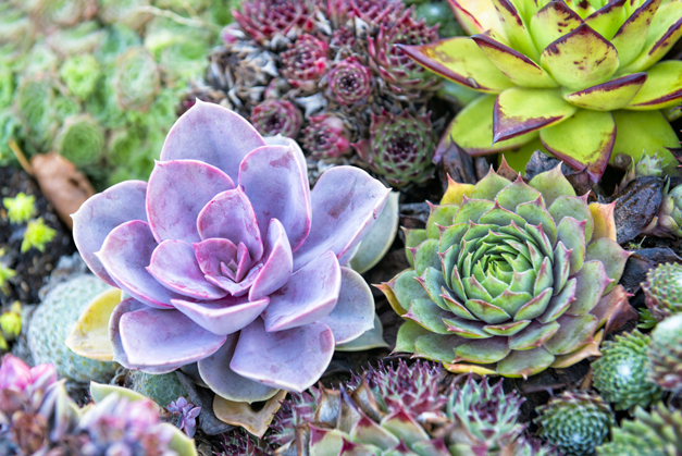 Handy tips for growing succulents