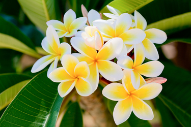 Blooming good tips for growing frangipanis