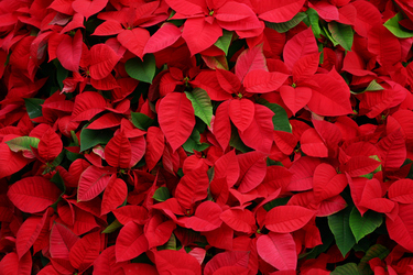 Add a splash of colour and festive cheer this Christmas with poinsettias
