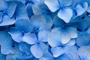 Green thumbs encouraged to plant blue flowers for Garden Releaf Day WA
